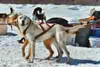 Meet Marmelade of Caribou Creek Racing Kennels