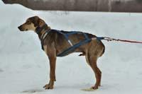 Meet Ram of Caribou Creek Racing Kennels